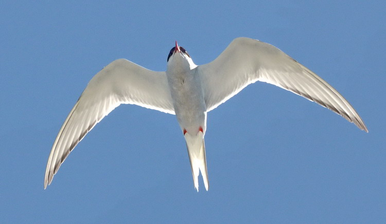 One of the adult Arctic Terns flying overhead - North Brother - July 23, 2015 - Ted D'Eon photo