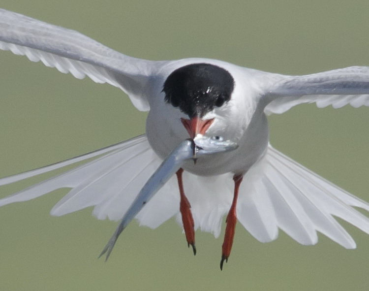 Common Tern with Herring - Gull Island, July 4, 2018 - Ted D'Eon photo