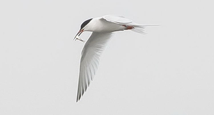 Roseate Tern carrying fish - Pubnico Harbour - July 8, 2015 - Ronnie d'Entremont photo