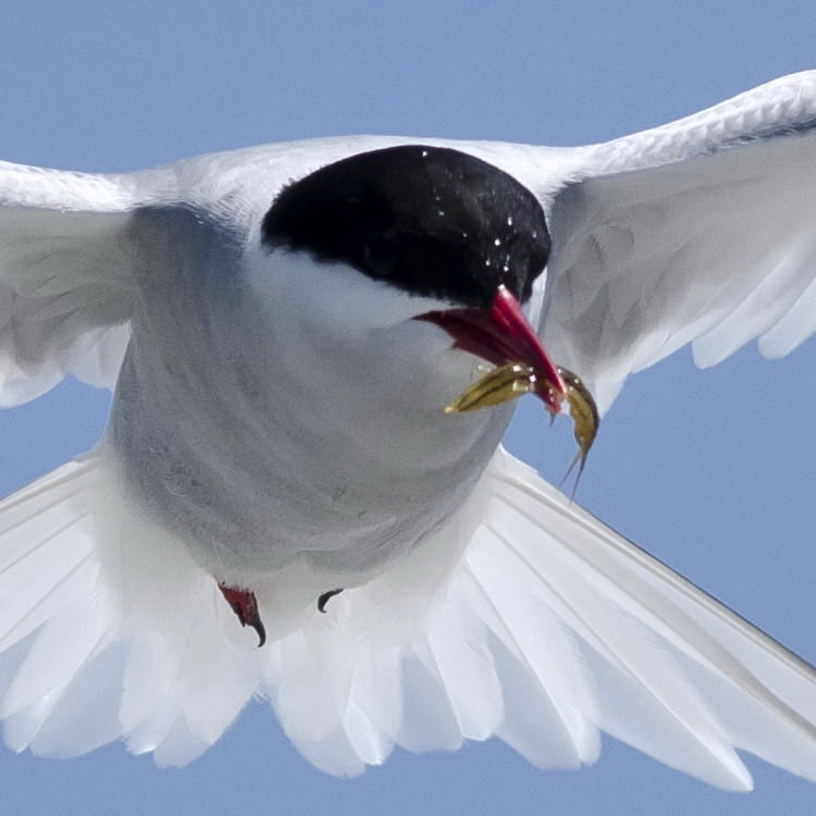 Arctic Tern with Euphausiid or Sand Flea - Gull Island, July 4, 2018 - Ted D'Eon photo