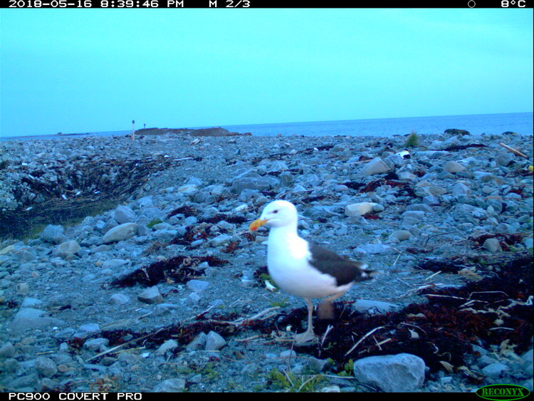Great Black-backed Gull, North Brother, May 16, 2018 - Trail camera photo