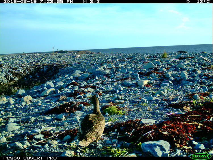 Common Eider, North Brother, May 18, 2018 - Trail camera photo
