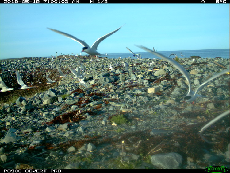 Common Terns, North Brother, May 19, 2018 - Trail camera photo