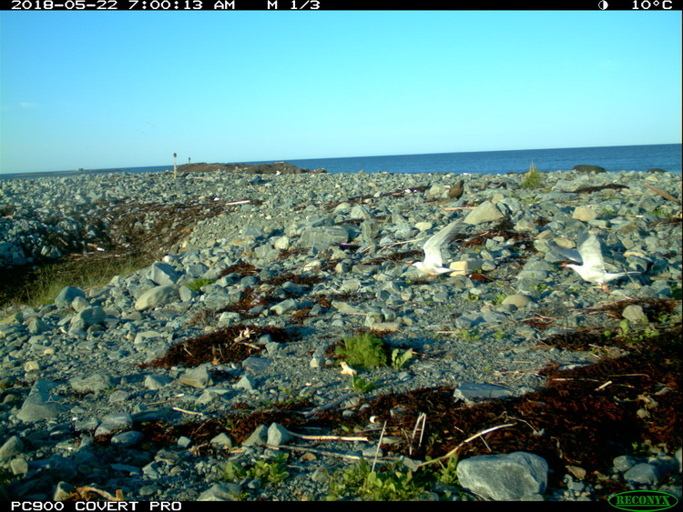 Only a few Terns, North Brother, May 22, 2018 - Trail camera photo