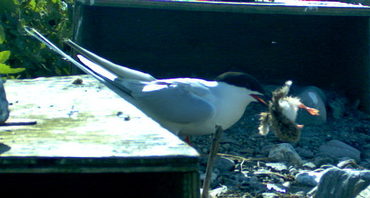 Roseate Tern carrying a Common Tern chick - North Brother, June 25, 2012 - Trail camera photo
