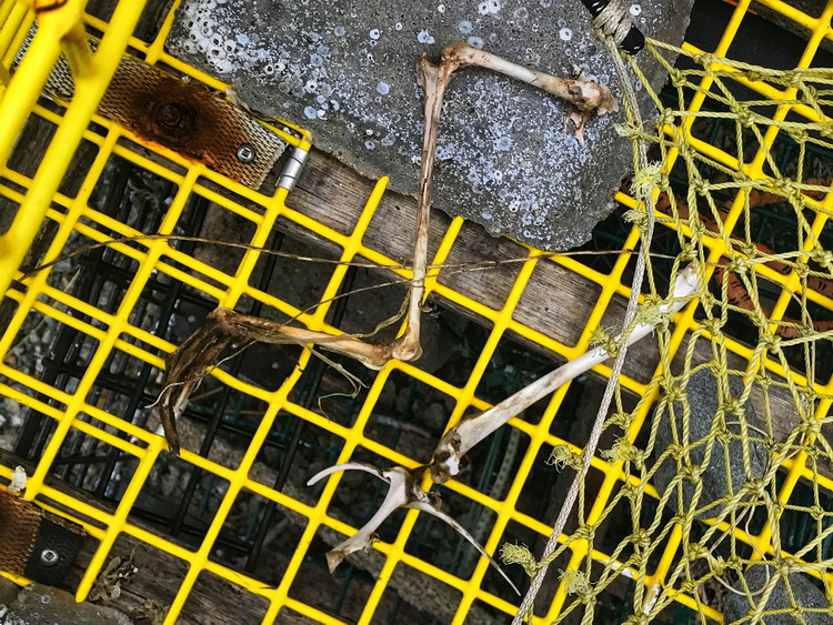 Bird bones in one of the Gull Island lobster traps - March 29, 2019 - Ted D'Eon photo