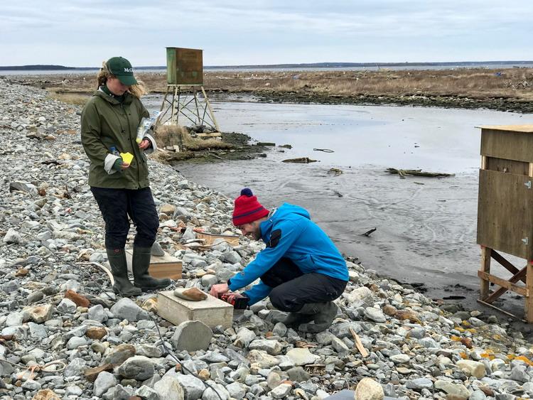 Natalie and Nick setting up ROST nesting shelters on Gull Island - April 30, 2019 - Ted D'Eon photo