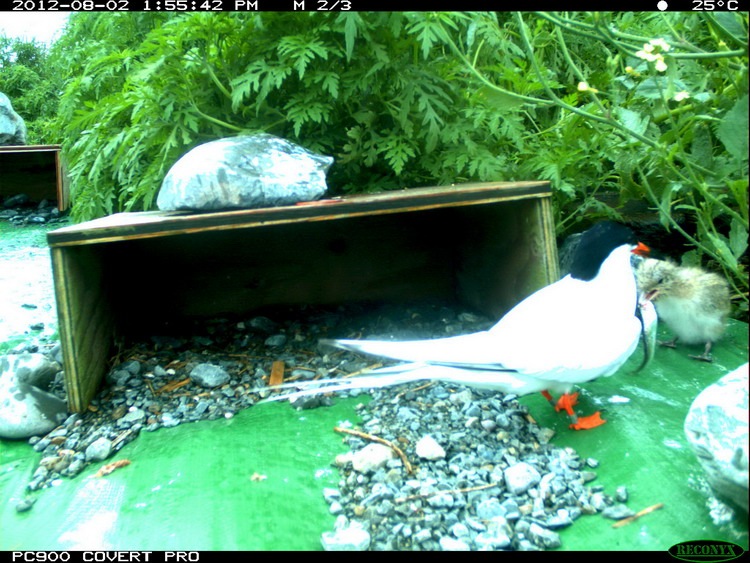 Roseate Tern feeding young - N. Brother, Aug. 2, 2012 - trail camera photo