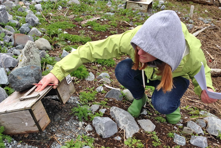Ingrid, checking a ROST nesting shelter - North Brother, May 28, 2017 - Ted D'Eon photo