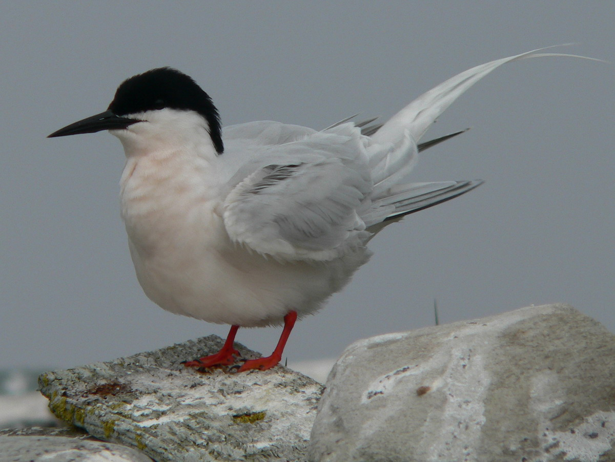 Roseate Tern, North Brother, Nova Scotia - June 4, 2005 - Ted D'Eon photo
