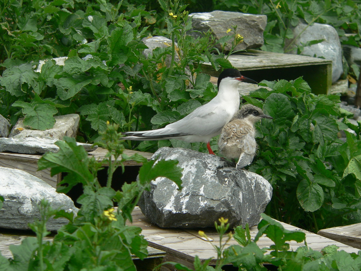 Roseate Terns, North Brother, Nova Scotia - July 20, 2005 - Ted D'Eon photo