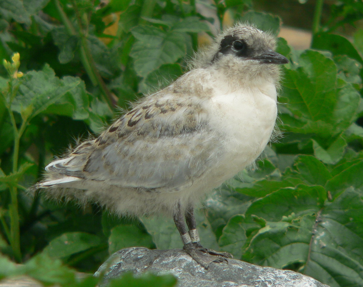Juvenile Roseate Tern, North Brother, Nova Scotia - July 20, 2005 - Ted D'Eon photo