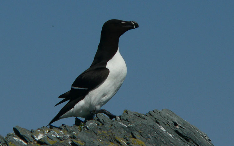 Razorbill at Green Rock - May 25, 2006 - Ted D'Eon photo