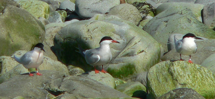 Banded Roseate Terns with a Common Tern on N. Brother - May 30, 2006