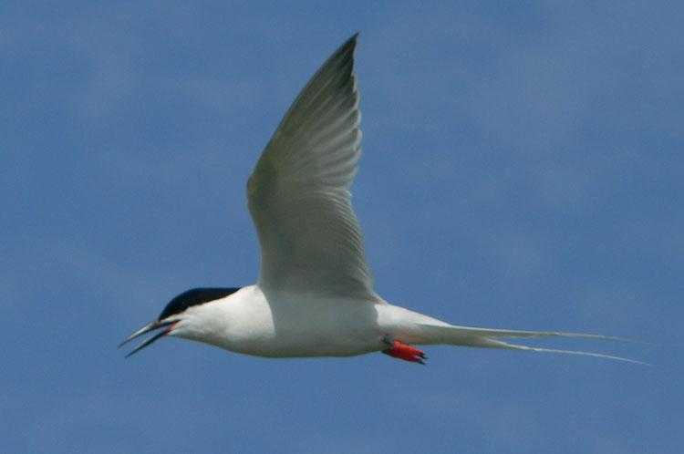 Banded Roseate Tern flying by - photo Ted D'Eon - July 4, 2006