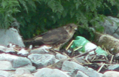 Merlin munching on a tern - N. Brother - Ted D'Eon - Aug 1, 2006