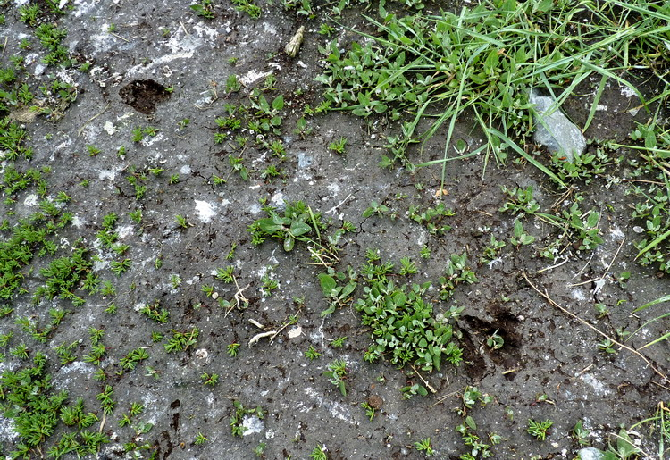 Deer tracks in the mud - N. Brother, May 31, 2012 - Ted D'Eon photo