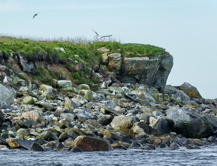 North-west corner of The Little Half Bald Tusket Island (Note the Cormorants nesting) - June 2, 2012 - Ted D'Eon photo