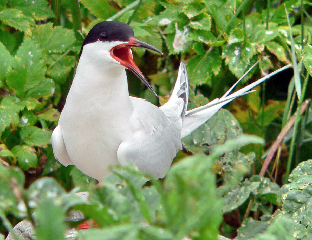 Roseate Tern, North Brother, Nova Scotia - July 18, 2007 - Ted D'Eon photo