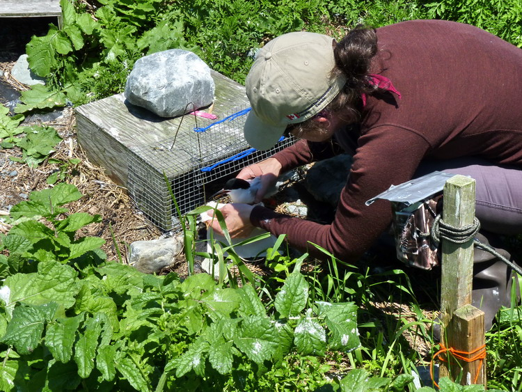 Karen Potter retrieving a ROST from treadle trap - North Brother, June 20, 2013 - Ted D'Eon photo