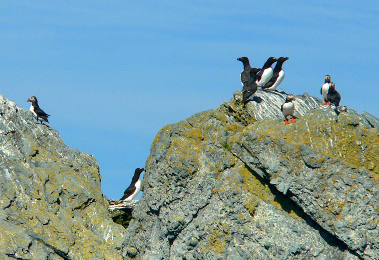 Razorbills and Puffins, Green Rock, NS, July 12, 2008 - Ted D'Eon photo
