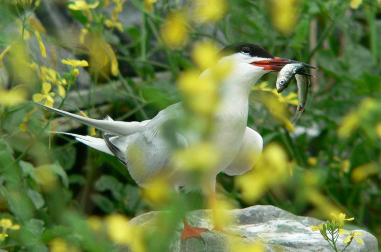 Roseate Tern in the mustard, July 22, 2008 - Ted D'Eon photo