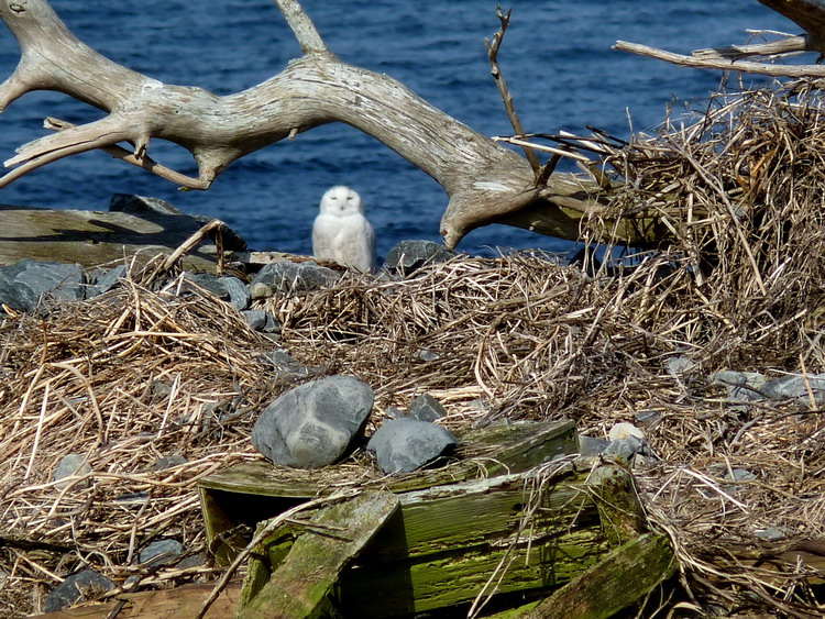 The Snowy Owl - N. Brother, April 22, 2014 - Ted D'Eon photo