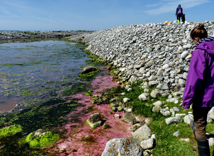 Pink pond growth on Flat Island, June 2, 2014 - Ted D'Eon photo
