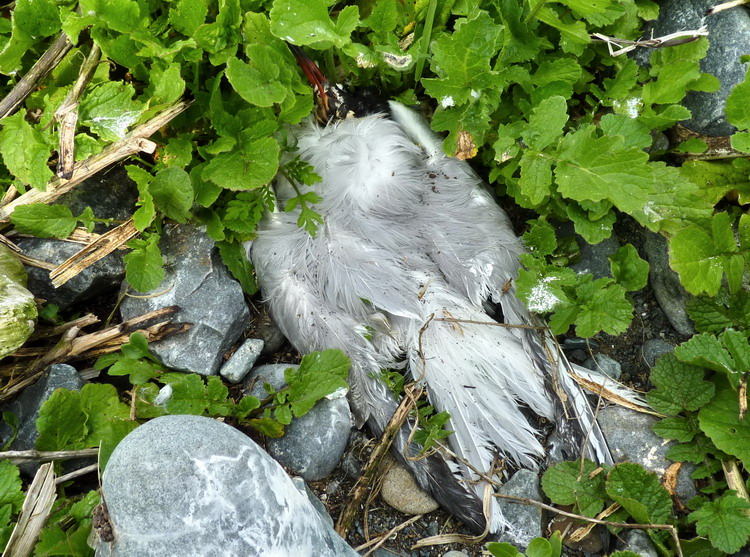 Dead Common Tern - N. Brother, June 9, 2014 - Ted D'Eon photo