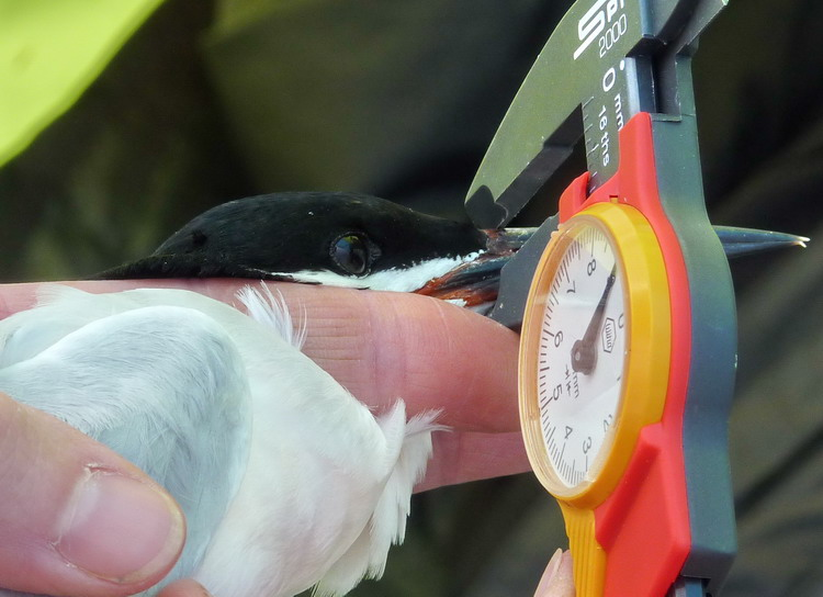 Roseate Tern bill thickness measurement - N. Brother, June 12, 2014 - Ted D'Eon photo