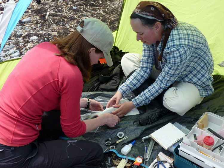 Julie and Karine beginning GPS tagging procedure - N. Brother, June 12, 2014 - Ted D'Eon photo