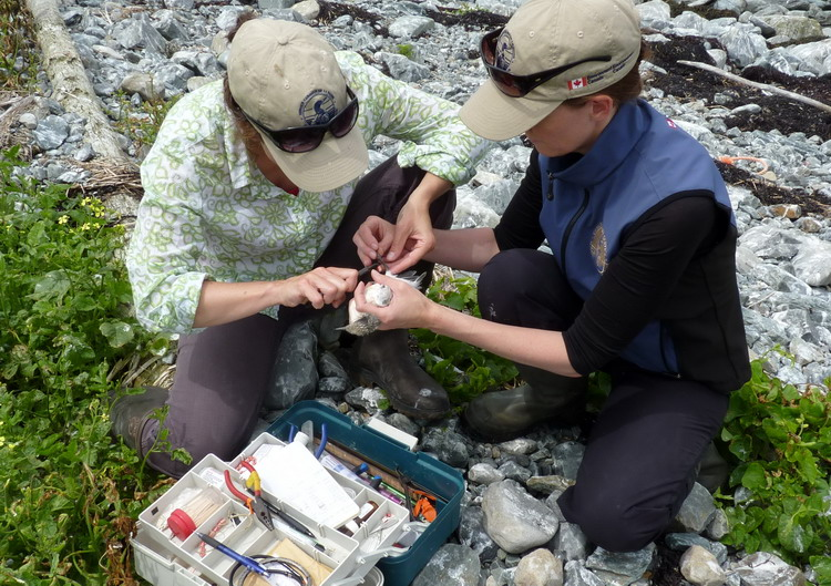 Karen and Julie banding a Roseate Tern chick - North Brother, July 11, 2014 - Ted D'Eon photo