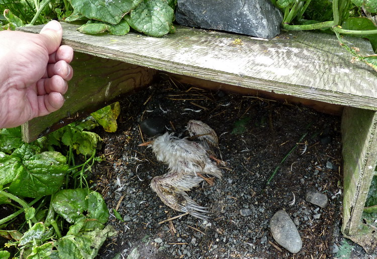 Dead Common Tern chick in Roseate Tern nesting shelter - North Brother, July 11, 2014 - Ted D'Eon photo