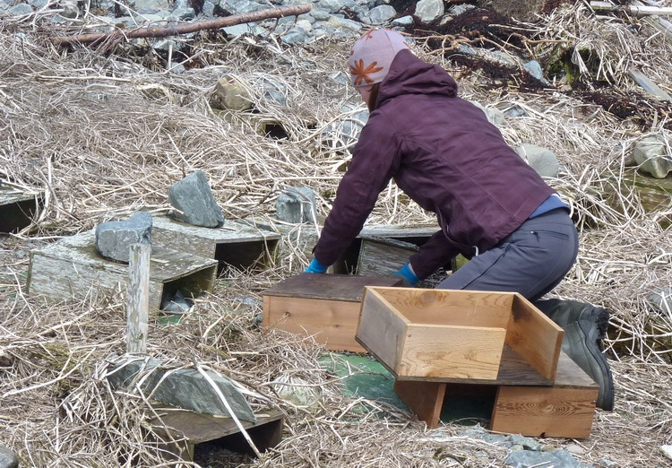 Julie setting up a new design nesting shelter - N. Brother, Apr. 20, 2015 - Ted D'Eon photo