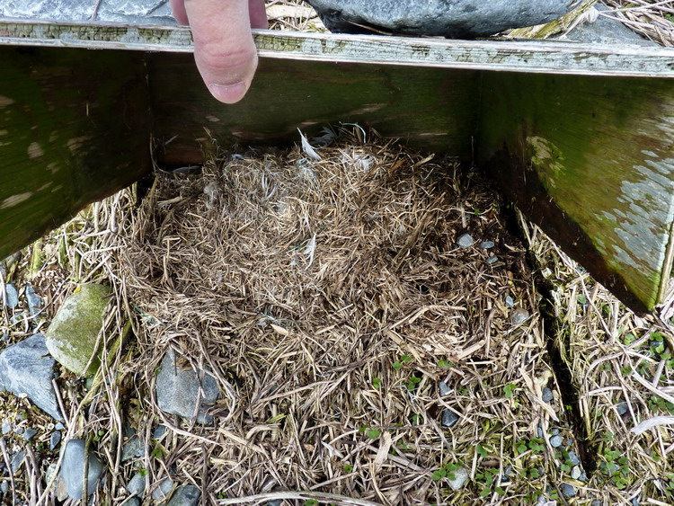 Meadow Vole nest in a ROST nesting shelter - N. Brother, Apr. 30, 2015 - Ted D'Eon photo