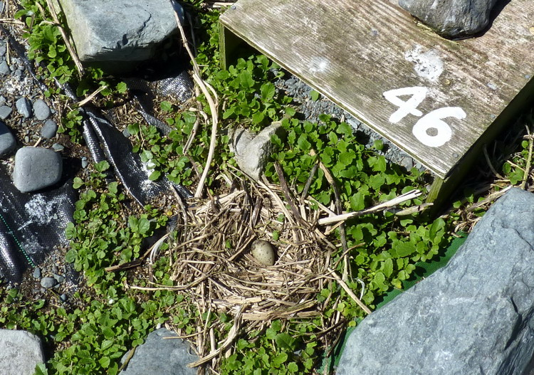 A Common Tern nest, N. Brother - May 21, 2015 - Ted D'Eon photo