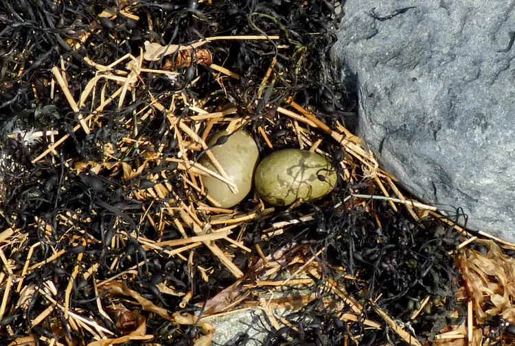 Nest containing 2 Common Eider eggs but no down - South Brother - May 25, 2015 - Ted D'Eon photo