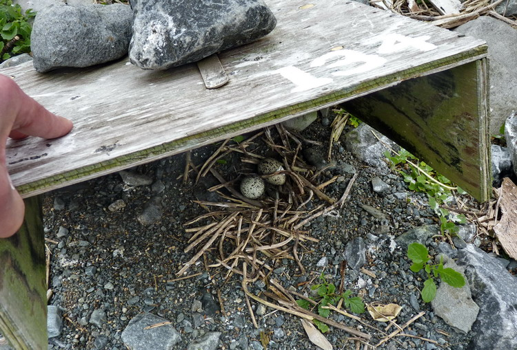 A Roseate Tern nest - North Brother - May 29, 2015 - Ted D'Eon photo