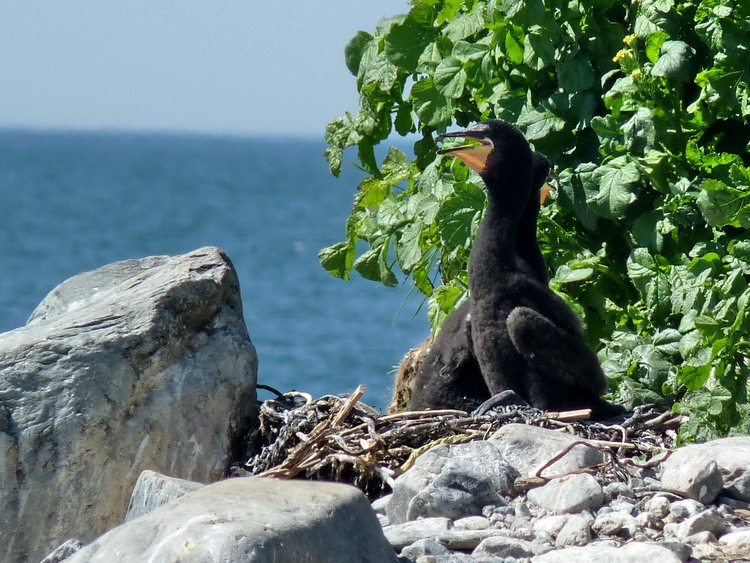 D-c Cormorant nest with older chicks - South Brother, July 4, 2017 - Ted D'Eon photo