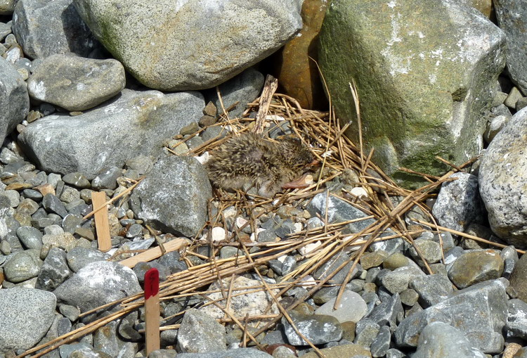 Two day old Roseate Tern chick in nest - Gull Island, July 17, 2017 - Ted D'Eon photo