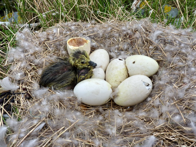 Canada Goose nest, Gull Island, May 14, 2018 - Ted D'Eon photo