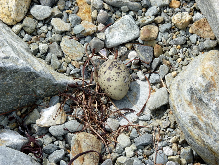 A very likely ARTE nest - Gull Island, May 22, 2018 - Ted D'Eon photo