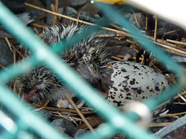 Newly hatched ROST in nest N11 - Gull Island, July 4, 2018 - Ted D'Eon photo