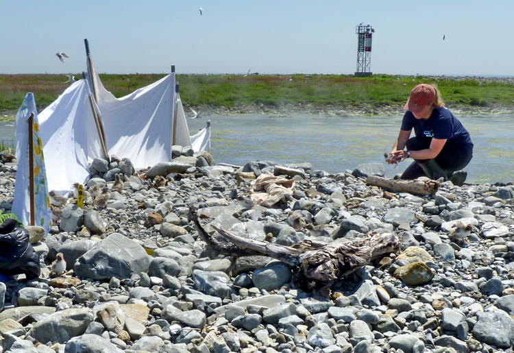 At the cloth fence, Natalie with tern chick - Gull Island, July 4, 2018 - Ted D'Eon photo