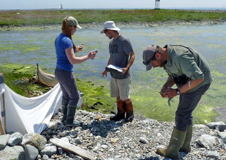 Manon, Nick, and Shawn processing tern chicks - Gull Island, July 4, 2018 - Ted D'Eon photo
