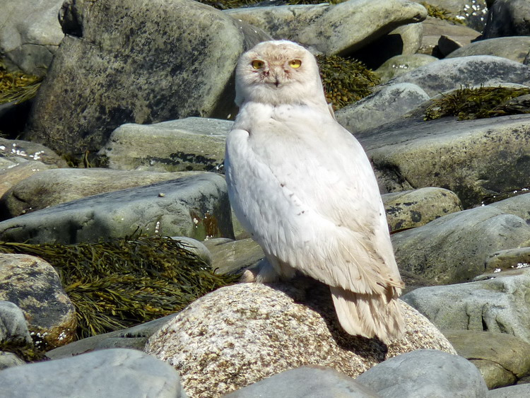 The Snowy Owl - Gull Island - May 7, 2019 - Ted D'Eon photo