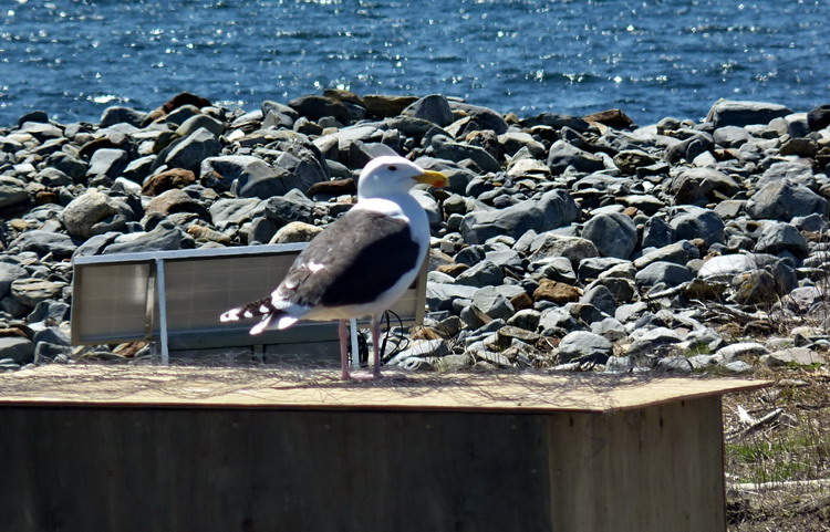 The Gull on the wire - Gull Island - May 7, 2019 - Ted D'Eon photo