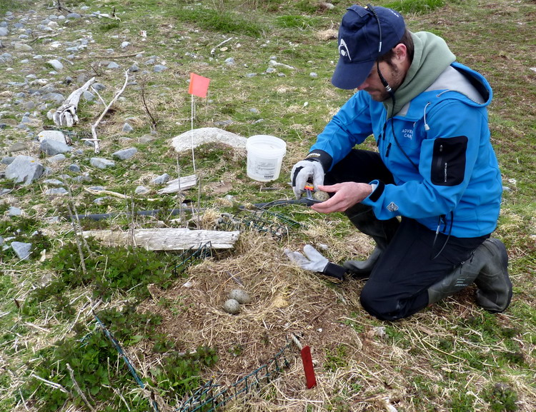 Nick measuring GBBG eggs - Gull Island - May 13, 2019 - Ted D'Eon photo