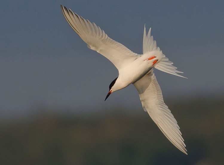 Roseate Tern in Pubnico Harbour, Lower West Pubnoco, NS, July 21, 2014 - Ronnie d'Entremont photo