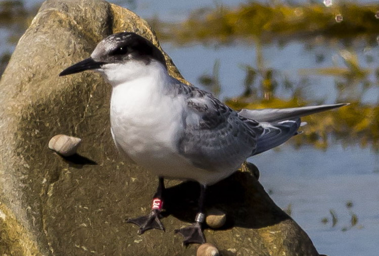 Roseate Tern juvenile, Clam Point. Cape Sable Island, NS - August 5, 2015 - Ervin Olsen photo
